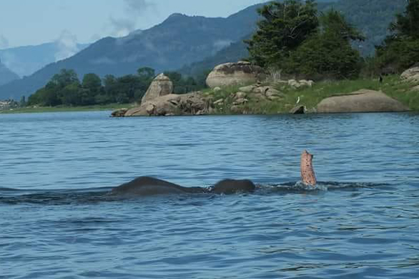 Gal oya national park swimming elephants