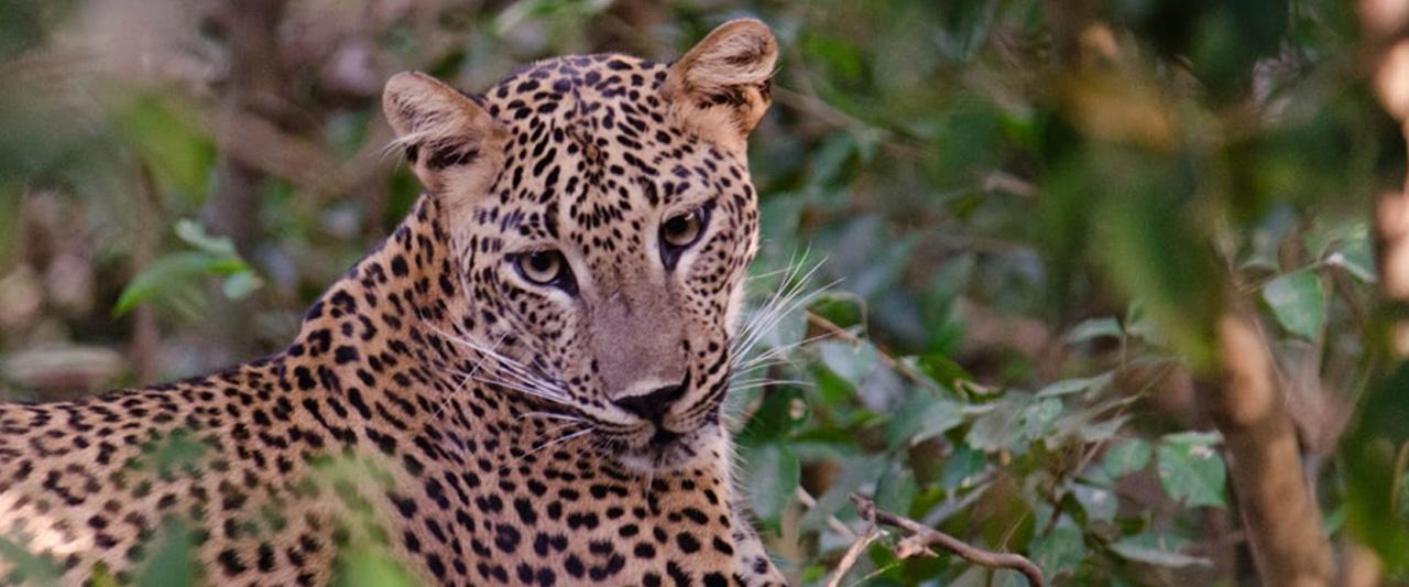 Mahoora leopard safaris at Yala national park Sri Lanka