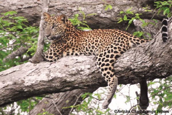 Sri Lankan Leopard at Yala National Park