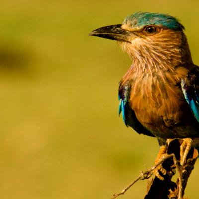 Indian Roller Udawa