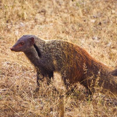 Naked Mongoose
