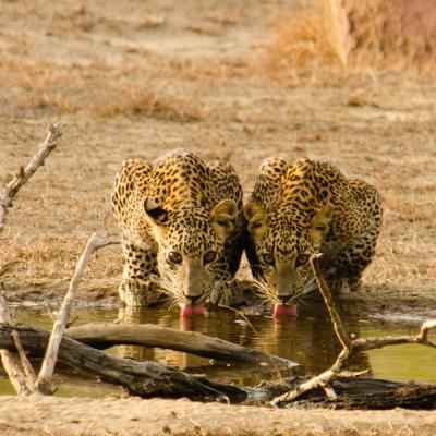 Two Leopards Yala