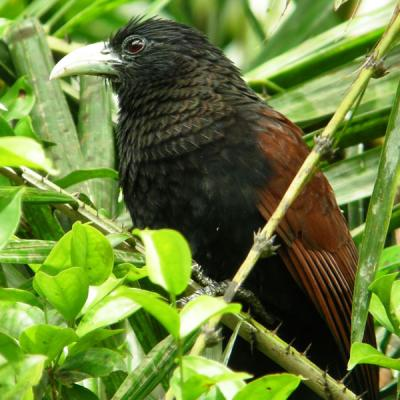 Sri Lanka Green Billed Coucal