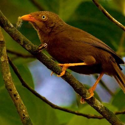 Sri Lanka Orange Billed Babbler