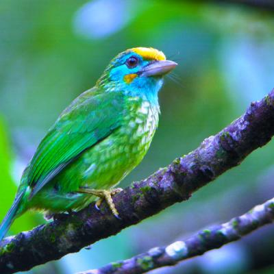 Sri Lanka Yellow Fronted Barbet
